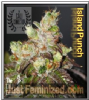 Cali Connection Island Punch 6 Fem Cannabis Seeds